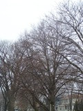 Winter trees, Chicago (Bertulfo, 2009)