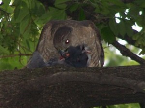Cooper's hawk eats Pigeon (Bertulfo, 2008)