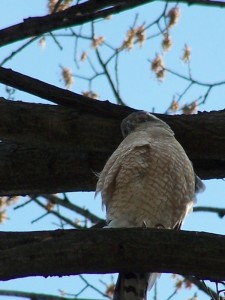 Cooper's hawk on guard